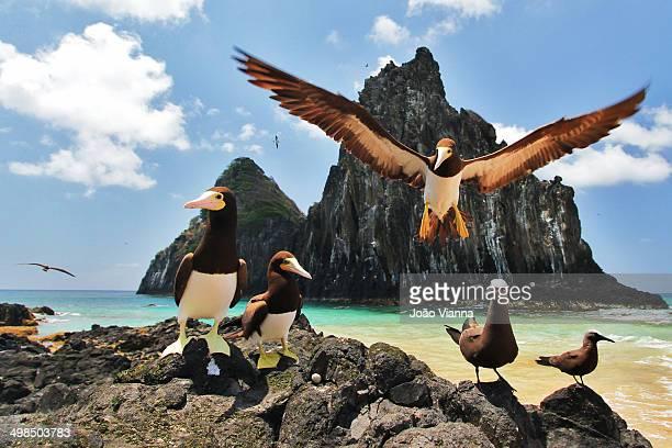 Seabirds in Fernando de Noronha