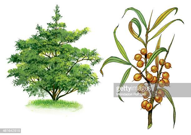 Seabuckthorn by Giglioli E 20th Century ink and watercolour on paper Whole artwork view Drawing of the plant with fruits and flowers