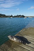 Sea-calf seal sunbathing