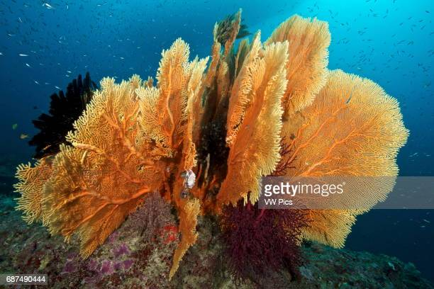 Seafan in the Siliman Islands Thailand