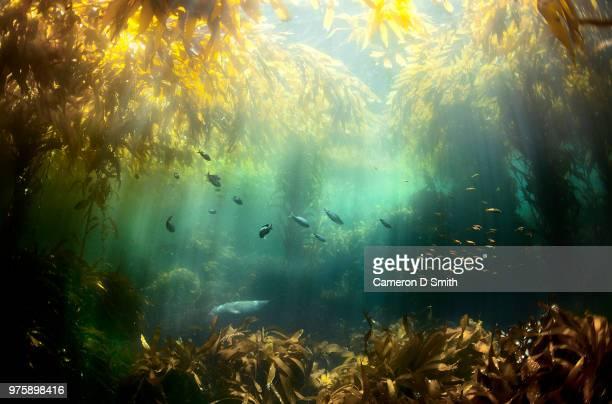 seagrass and fish in water, santa cruz island, california, usa - 海苔 ストックフォトと画像