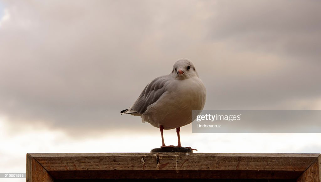 seagull and a cloudy afternoon : Stock Photo