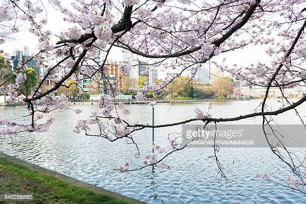 Seagull and Shinobazu pond with Cherry Blossoms