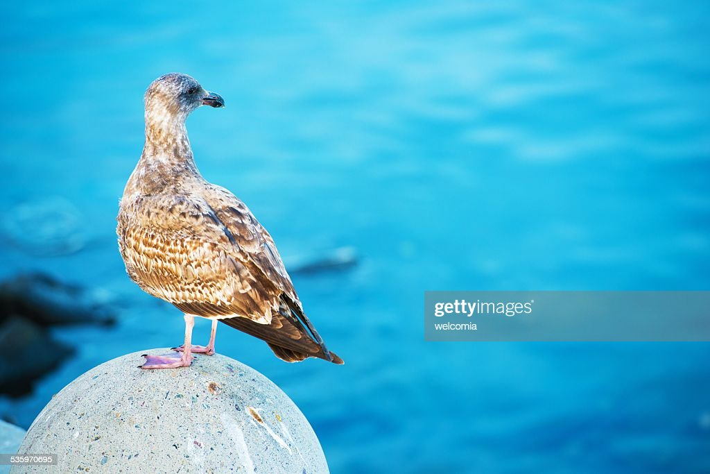 Seagull and the Sea : Stock Photo