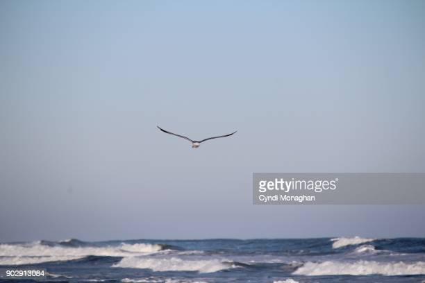 Seagull at Assateague Island