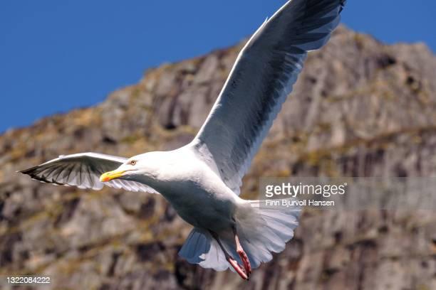 seagull at flight, blue sky and mountain in the background - finn bjurvoll stockfoto's en -beelden