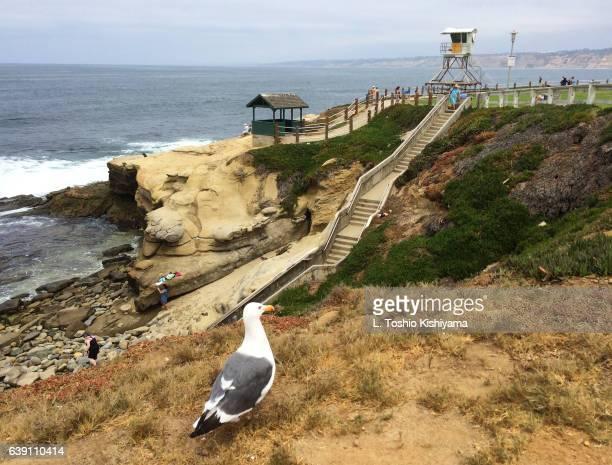 Seagull at La Jolla Cove in San Diego