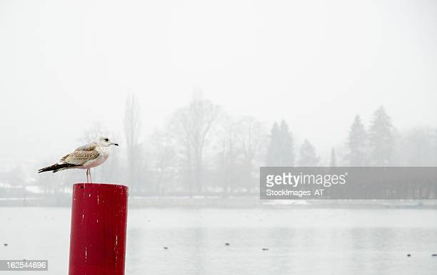 Seagull at Pier of Lake Traun