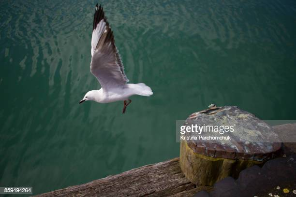 A seagull at the Auckland Viaduct Harbour