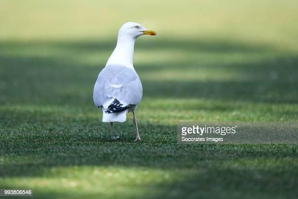 seagull at the pitch of Scheveningen during the match between Scheveningen v ADO Den Haag at the Sportpark Houtrust on July 7 2018 in Scheveningen...