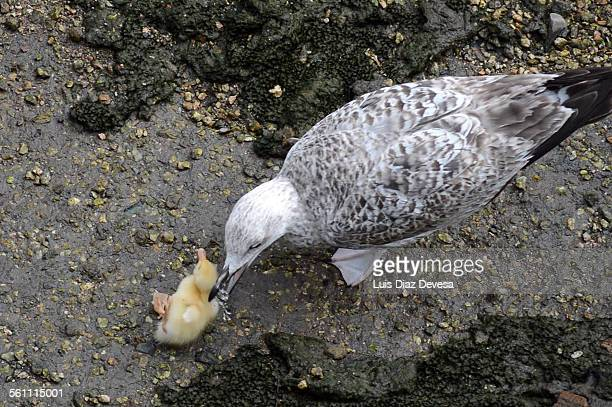 seagull attacks chick - ugly duckling stock photos and pictures