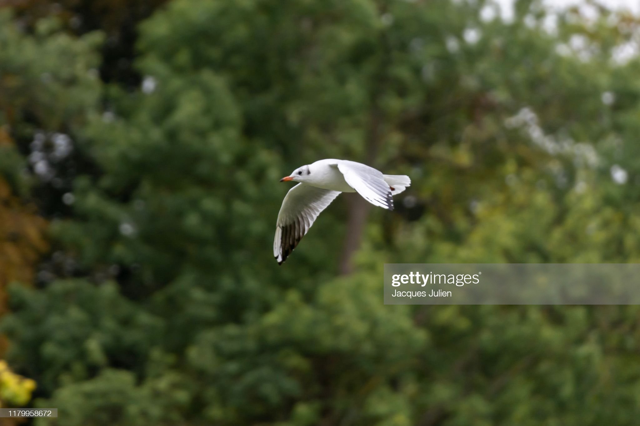 Seagull bird flying with trees on background : Photo