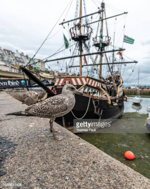 seagull by the golden hind - golden hind ship stock photos and pictures