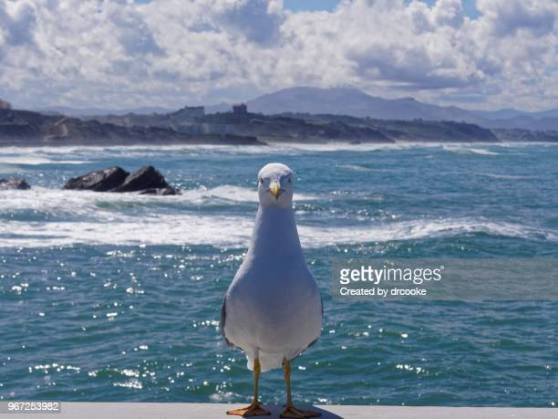 seagull by the seaa - biarritz stock pictures, royalty-free photos & images