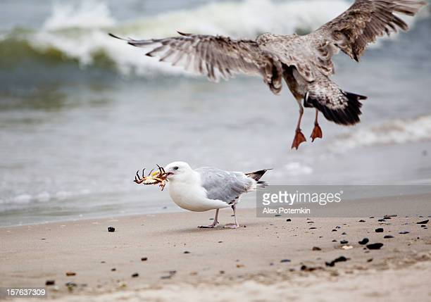 Seagull capture the crab
