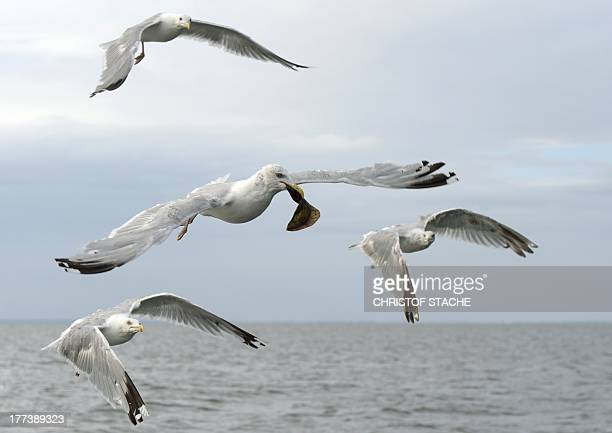 A seagull carries a fish in his beak as he flies over the port of Gager on the northern German island Ruegen on August 20 2013 AFP PHOTO /CHRISTOF...