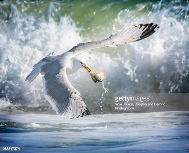 Seagull Carrying Clam Against the Foam at Robert Moses State Park
