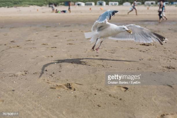 seagull carrying food while flying over beach - bortes stock photos and pictures