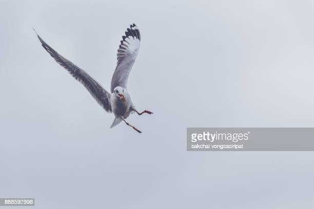 seagull catching bread slice in sky - seagull stock pictures, royalty-free photos & images