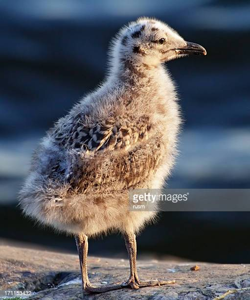 seagull chick - chicken bird stock photos and pictures