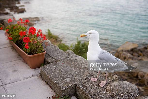 A seagull during a moment of stillness in the outside seating area of The Turk's Head Pub on the island of St Agnes in the Scilly Isles