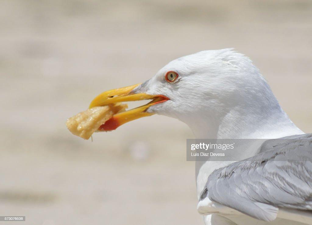 Seagull eating churro : Stock Photo