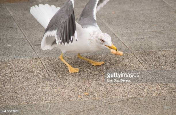 Seagull eating churro