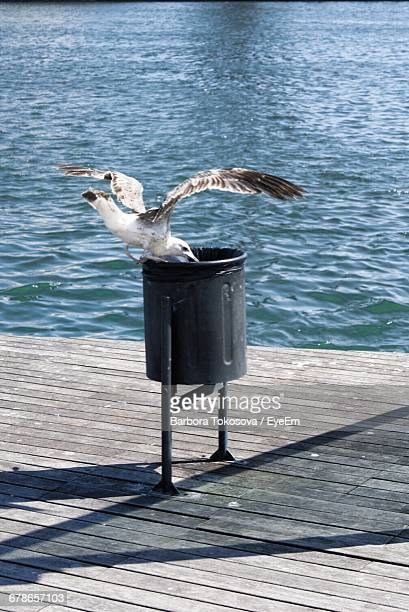 Seagull Eating From Trash Can On Boardwalk By Sea