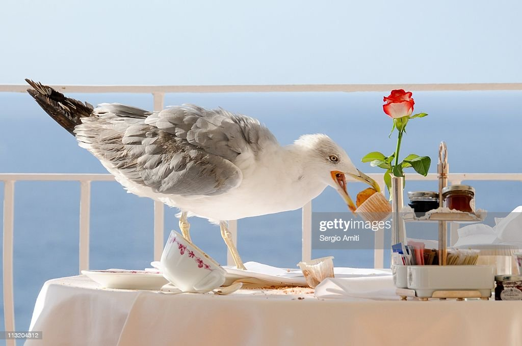 Seagull eating muffin for breakfast in Capri : Stock Photo