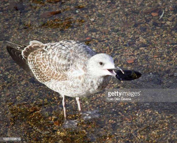 seagull eating mussel