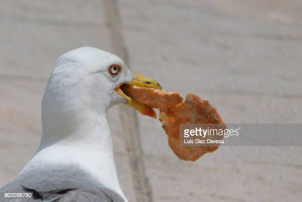 seagull eating pizza