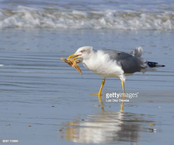 seagull eating starfish