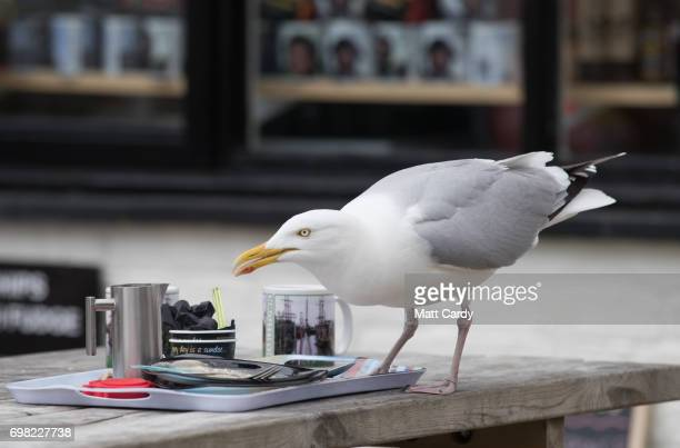 A seagull eats off a table outside a cafe as people walk around the historic harbour at Charlestown near St Austell that was used as a location in...