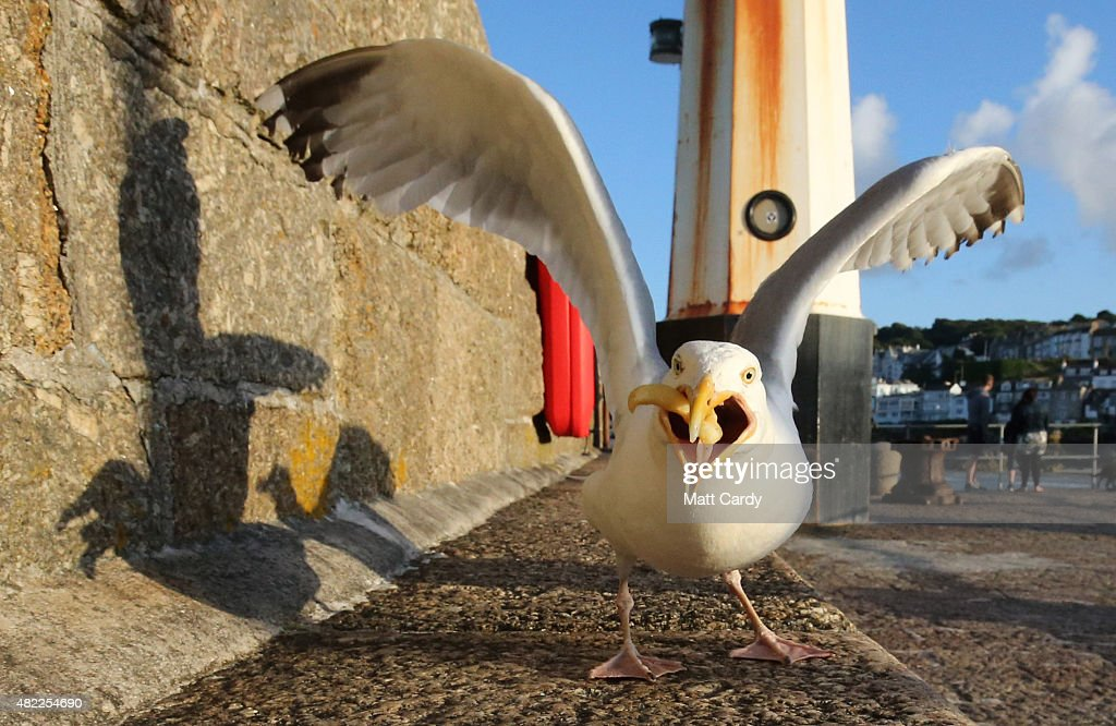 Seagull Attacks Being Reported From Coastal Towns This Summer : News Photo