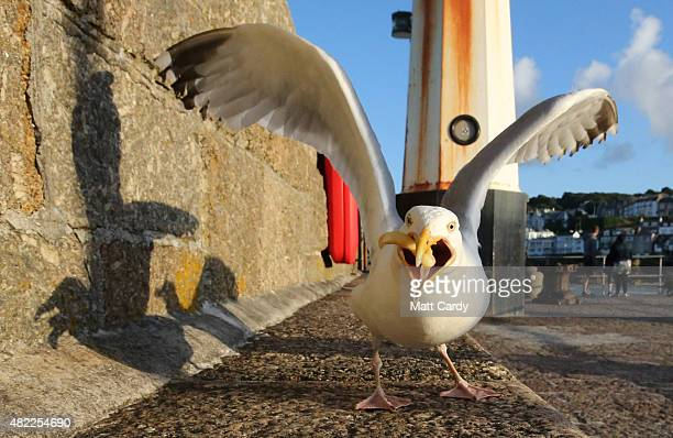 A seagull eats takeaway food left on the harbourside at St Ives on July 28 2015 in Cornwall England Recent attacks by herring gulls on people and...