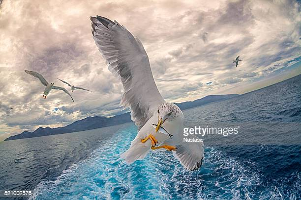 seagull fishing - bird stock photos and pictures