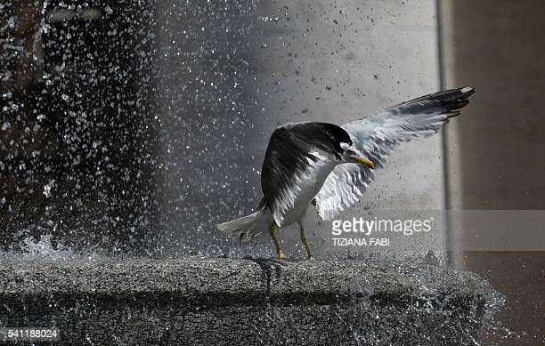 A seagull flaps its wings as it stands on a fountain in St Peter's square at the Vatican on June 19 2016 / AFP / TIZIANA FABI