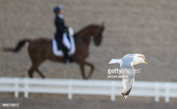 Seagull flies above a dressage rider during the dressage Grand Prix at the European Equestrian Championships in Gothenburg, Sweden, 22 August 2017....