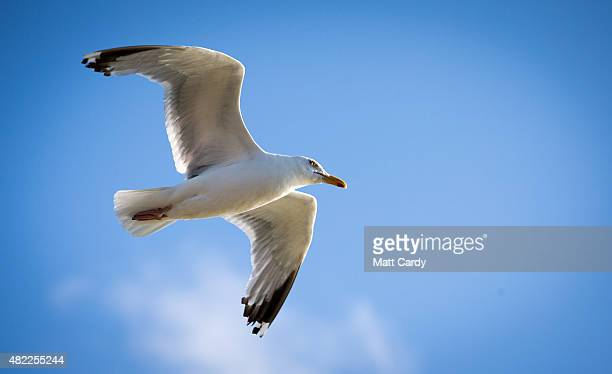 A seagull flies above the harbour at St Ives on July 29 2015 in Cornwall England Recent attacks by herring gulls on people and their pets has led...