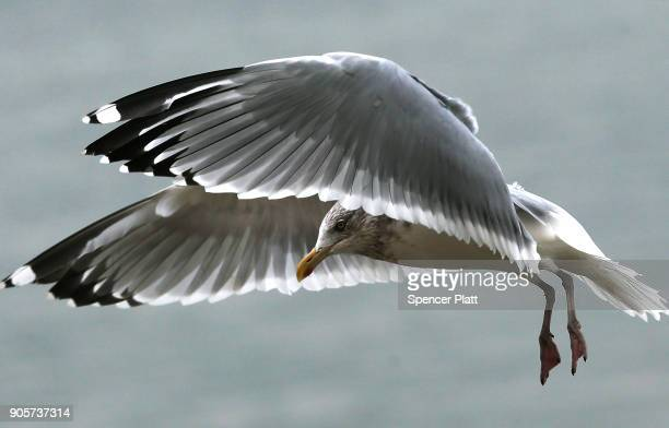 A seagull flies above the water in New York Harbor on January 16 2018 in New York City New York Governor Andrew Cuomo has written a letter to...