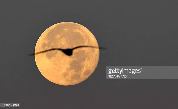 TOPSHOT A seagull flies as the full moon sets early on November 15 2016 in Rome This 'Extra Supermoon' appears 14% bigger and 30% brighter than usual...