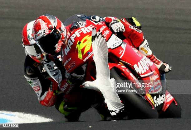 Seagull flies into the path of Alvaro Bautista of Spain and the Mapfree Aspar Team during 250cc race at the Phillip Island Circuit on October 5, 2008...