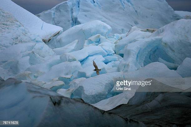 A seagull flies over icebergs near the village of Ilimanaq august 26 Greenland Scientists believe that Greenland with its melting ice caps and...