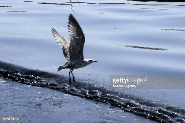 A seagull flies over oil covered sea which leaked from a sinked cargo ship causing an environmental disaster in Athens Greece on September 14 2017...