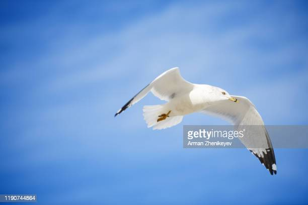 seagull flight on blue sky - arman zhenikeyev stock pictures, royalty-free photos & images