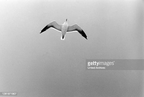 Seagull fly at the tail of Princess Christina while driving to Gothenburg, Sweden, 1960s.