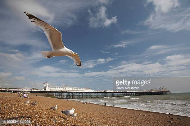 Seagull flying above Brighton beach. Brighton, England, East Sussex, Brighton Pier.