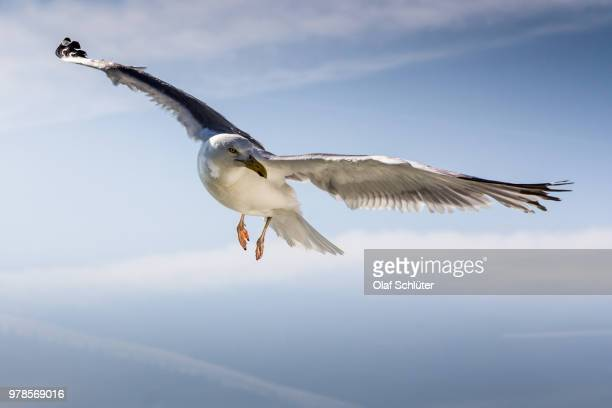 Seagull flying against blue sky, Netherlands