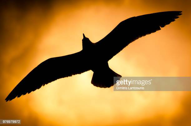 seagull flying at sunset, spetses, greece - spetses stock pictures, royalty-free photos & images