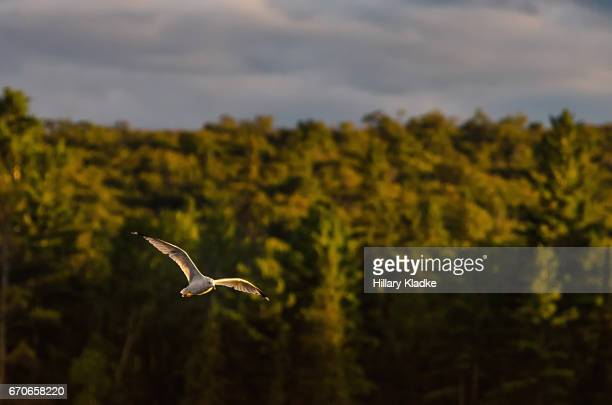 Seagull flying during golden hour